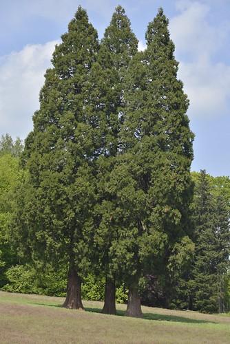 Les trois séquoias géant en triangle