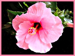 """""""Today, remember to enjoy clean humor."""" (martian cat) Tags: hibiscus macro chibafloralmuseum japan inage ©martiancatinjapan allrightsreserved© ©allrightsreserved flower nature martiancatinjapan© flowers garden onblack ☺allrightsreserved allrightsreserved ☺martiancatinjapan creativity martiancat martiancat© ©martiancat martiancatinjapan"""