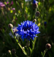Anglų lietuvių žodynas. Žodis corn-flower reiškia n rugiagėlė lietuviškai.