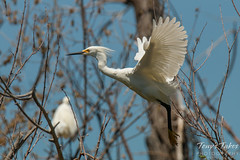 Snowy Egret launch sequence - 5 of 5