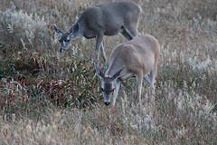 Black-Tailed Deer (fksr) Tags: california grass animal female dusk marincounty pointreyesnationalseashore foraging blacktaileddeer odocoileushemionuscolumbianus