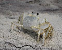 Ghost Crab (KoolPix) Tags: beach nature eyes sand legs ghost crab nationalgeographic sandcrab naturephotography naturephotos amazingnature ghostcrab jayd naturephotographer fantasticnature animalphotographer jonesbeachny koolpix jdiaz jaydiaz jaydiaznaturephotographer wcswebsite photocontesttnc14 dailynaturetnc14
