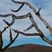 Madeira de cactos seca, uma obra de arte natural
