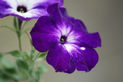 (hobbitbrain) Tags: purple ngc