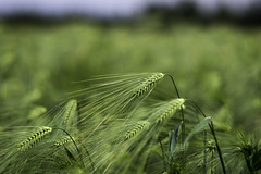 wheat (repaap) Tags: rose dof wheat shallo
