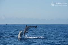 Bottlenose dolphins (Joana Gomes - Lobosonda) Tags: sea sun island sunday watching dolphins whale whales common madeira bottlenose