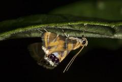 Argyractoides sp (Crambidae, Argyractini) a (Enio Branco) Tags: nature rainforest wildlife natureza bugs macrophotography mataatlntica macromundo artropods sosmataatlntica macromaniaanimalgroup