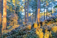 Anagach woods. (artanglerPD) Tags: frosty heather trees winter sunshine patches