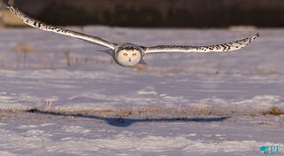 ''Souvenir!'' Harfang des neiges/ Snowy owl