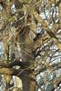 european squirrel and black variety squirrel (Fabio.Buoso) Tags: sciurusvulgare scoiattoloeuropeo europeansquirrel valletagli caorle venezia italia