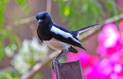 Oriental magpie
