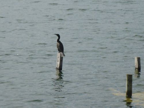 Phalacrocoras brasilianus (Neotropical Cormorant)