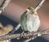 What R they Doing? (Omygodtom) Tags: sparrow songsparrow animal senery setting scene bokeh bird nikon digital nikkor oaksbottom outdoors nikon70300mmvrlens dof d7100 wild wildlife