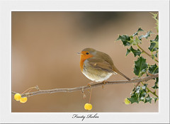 Festive Robin..... (deanmasonwp) Tags: nature photography wild wildlife bird birds avian robin redbreast holly berry berries festive christmas xmas frost frosty dean mason windows wareham dorset reflection pool