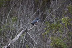 Belted Kingfisher (DFChurch) Tags: six mile cypress slough swamp fortmyers florida kingfisher belted megacerylealcyon bird nature animal wildlife