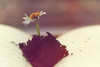 Book of Life. (Neal.) Tags: macromondays monday macro alive scotland flower book life reading camera photo photograph art bokeh canon 100mm letters daisy itsalive
