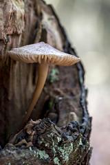 Quackjes fungi (R. Engelsman) Tags: fungi fungus fungo hongo mushroom paddestoel paddenstoel pilze seta nature natuur outside quackjeswater voornesduin netherlands nl macro sigma105mm 105mm canon 650d outdoor dof