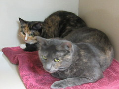 Shirley (3 year old spayed female)
