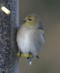 American Goldfinch (f)(Spinus tristis)
