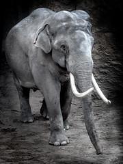 Elephant (Emil de Jong - Kijklens) Tags: wwwkijklensnl asian indische olifant monochrome dier wildlife zoogdier