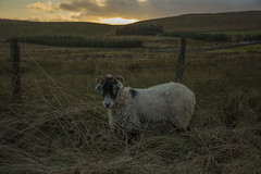 bd7 (ShedSpaceProjects) Tags: yorkshire winter wintersun sunset nature countryside england malham sheep blueskies clouds sky travel adventure road fields rollinghills outdoor landscape