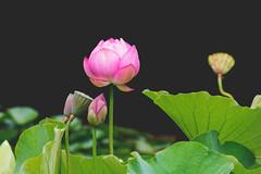 Lotus Flower (S♡C) Tags: lotus garden garde chinesegarden water pond sydney summer