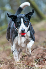 Zac approaches (grahamrobb888) Tags: nikon nikond800 afnikkor80200mm128ed birnamwood bokeh dog pet zac forest perthshire scotland