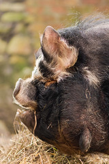 Head of kunekune pig with wattles (Ian Redding) Tags: newzealand animal black breeds cream curly domestic domesticated dwarf ear farm forequarters gilt ginger hairy head kunekune mouth nose pet pig profile rarebreed semilopped small smallest snout sow teeth wattles white