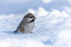 Boreal Chickadee (Peter Stahl Photography) Tags: islelake borealchickadee chickadee winter bird outdoors