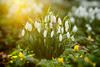 Snowdrops in Winter Light (Lee Beel) Tags: beel leebeel snowdrop snowdrops plant plants woodland winterflowers whiteflowers winterflower whiteflower wildflower wildflowers woodlandfloor lincolnshire uk february 2016 february2016 winter winter2016 canon manfrotto outside outdoors countryside strobe strobist flash offcameraflash incompletestrobistinfo removedfromstrobistpool seerule2