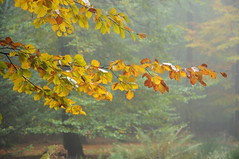 Buchen-Herbst in Brunsholm; Bergenhusen, Stapelholm (15) (Chironius) Tags: stapelholm bergenhusen schleswigholstein deutschland germany allemagne alemania germania германия niemcy herbst herfst autumn autunno efteråret otoño höst jesień осень baum bäume tree trees arbre дерево árbol arbres деревья árboles albero árvore ağaç boom träd rosids fabids buchenartige fagales buchengewächse fagaceae fagoideae buchen rotbuche faia kayın beuken бук bok fagus
