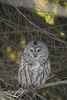 DSC_2443 (willy_chan88) Tags: barred owl nikon d7200 sigma 150600mm