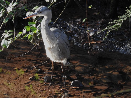 Grey Heron, Long Tunnel, Five Locks, Monmouthshire-Brecon Canal, Pontnewydd 28 December 2016