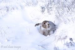 MOUNTAIN HARE (Neil Shaw Images) Tags: lepustimidus mountainhare derbyshire moors mammals nikon d7100 hares wildlife nature peakdistrict moorland winter