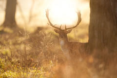 'The First Morning' (Jonathan Casey) Tags: sunrise deer fallow hall holkham north norfolk sun morning d810 400mm f28 vr