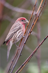 House Finch. (LisaDiazPhotos) Tags: birdwatch bird birdwatching backyard birding rainy day rain southern california lisadiazphotos house finch