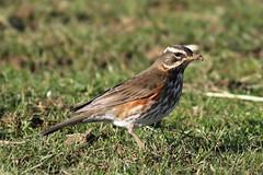 Redwing - Turdus iliacus (Roger Wasley) Tags: redwing turdus iliacus thrush wild birds british britain england lowerslaughter gloucestershire
