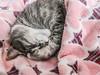 cat nap (jojoannabanana) Tags: 3662016 adorable blanket canonpowershot catnap cat curl cute hearts nap sleeping s100 tabby texture verabradley