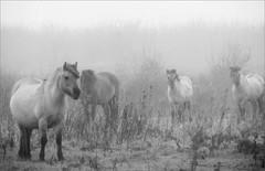 foggy days (daaynos) Tags: foggy fog horses bw mist hoeksewaard dehoekschewaard konikhorses