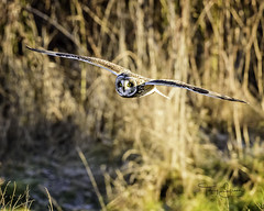 """Passing Glance"" Short-Eared Owl Working A Field, Western Washington (Hawg Wild Photography) Tags: shortearedowl shorteared owl owls raptor raptors bird birds of prey pacific northwest western washington wildlife nature animal animals terrygreen nikon nikon600mmvr d810 hawg wild photography"