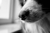 Collie nose (kirstieSarran) Tags: dogs bordercollie collie dogphotography animals blackandwhite closeup