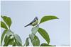 pimpelmeesje (HP012240) (Hetwie) Tags: bird pimpelmeesje rupsje meesje dog vogel thuis helmond noordbrabant nederland