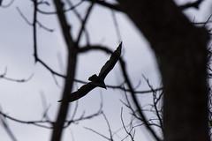 Soaring Overhead (ShaemonRobinson) Tags: park sugarland texas bird birds feathers sky vulture flying soar soaring silhouette dark gloomy overcast