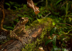 Rainbow toad (Ansonia latidisca) (jasmine_vink) Tags: