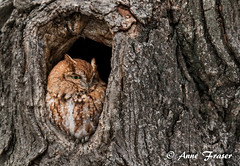 Little Screech Owl (Anne Marie Fraser) Tags: little screech owl outdoor tree animal nature wildlife wild cute hole wow