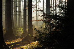 Winter comes, winter goes (Petr Sýkora) Tags: les mood podzim nature forest mist fog silhouette autumn morning light trees