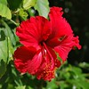 Key West (Florida) Trip 2016 0087Rif sq (edgarandron - Busy!) Tags: florida keys floridakeys keywest flower flowers hibiscus exquisiteflowers platinumheartaward