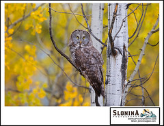 224A0720 (Slonina Nature Photography Tours and Workshops) Tags: grandtetons phototourowls greatgray owls