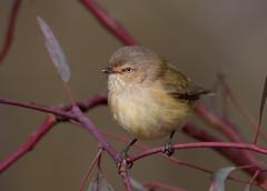 weebill (Smicrornis brevirostris)-2390 (rawshorty) Tags: birds australia canberra act mulligansflat rawshorty
