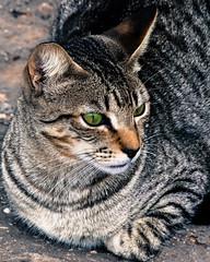 Superior (Nomis.) Tags: animal cat canon eos rebel feline lanzarote whiskers gato promenade stray gata canaryislands playablanca lightroom islascanarias 700d canon700d canoneos700d t5i canonrebelt5i rebelt5i sk201502062259editlr sk201502062259